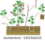 raspberry vegetative... | Shutterstock .eps vector #1301566210