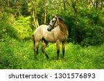 yellow quarter horse buckskin... | Shutterstock . vector #1301576893