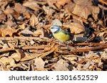blue tit sitting on ground on... | Shutterstock . vector #1301652529