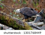 Bald Eagle Swallows Piece Of...