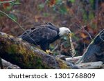 Adult Bald Eagle Holds A...