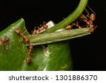 Weaver Ants Teamwork Carrying ...