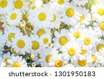 summer background with daisy... | Shutterstock . vector #1301950183