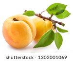 ripe apricots on a small branch ... | Shutterstock . vector #1302001069