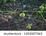 mekon river weed  cardiospermum ... | Shutterstock . vector #1302007363