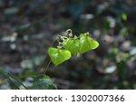 mekon river weed  cardiospermum ... | Shutterstock . vector #1302007366