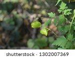 mekon river weed  cardiospermum ... | Shutterstock . vector #1302007369