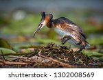 the great crested grebe  ... | Shutterstock . vector #1302008569
