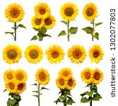 Sunflowers Collection Isolated White Background - Fine Art prints