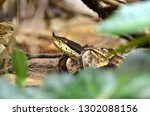hundred pace pit viper or... | Shutterstock . vector #1302088156