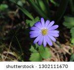 balkan anemone  grecian... | Shutterstock . vector #1302111670
