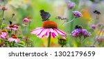 Garden With Flowers Echinacea...