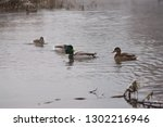 Wild Ducks  Migratory Birds Of...