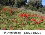beautiful red flower  kalanit ... | Shutterstock . vector #1302318229