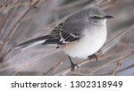 mockingbird on branch | Shutterstock . vector #1302318949
