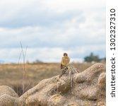 american kestrel sparrow hawk ... | Shutterstock . vector #1302327310
