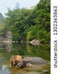 young asian water buffalo calf...   Shutterstock . vector #1302365863