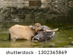 close up of asian water buffalo ...   Shutterstock . vector #1302365869