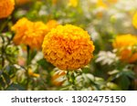 marigold field  yellow flowers.... | Shutterstock . vector #1302475150