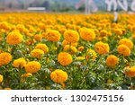 marigold field  yellow flowers.... | Shutterstock . vector #1302475156