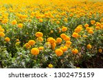 marigold field  yellow flowers.... | Shutterstock . vector #1302475159