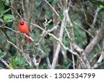 red male northern cardinal... | Shutterstock . vector #1302534799