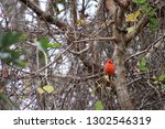 red male northern cardinal... | Shutterstock . vector #1302546319