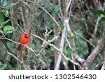 red male northern cardinal... | Shutterstock . vector #1302546430