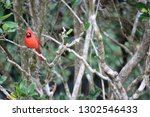 red male northern cardinal... | Shutterstock . vector #1302546433