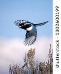 Black Billed Magpie Flying