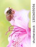 maybug or cockchafer sitting on ... | Shutterstock . vector #1302605056