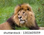 closeup of male african lion in ... | Shutterstock . vector #1302605059