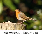 robin red breast perched on a... | Shutterstock . vector #130271210