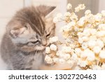 Stock photo scottish fold kitten young dray kitten sitting with white flowers close up 1302720463
