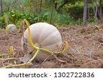 fresh young harvesting pumpkins ...   Shutterstock . vector #1302722836