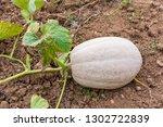 close up of farm autumn fresh...   Shutterstock . vector #1302722839