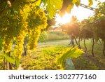 grape harvest italy | Shutterstock . vector #1302777160