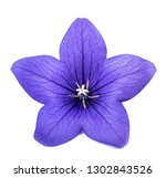 Balloon Flower   Bellflower ...