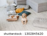 Stock photo english cocker spaniel puppy sitting on pillows on wooden floor at home raising a dog puppy 1302845620