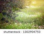 mediterranean olive field.... | Shutterstock . vector #1302904753
