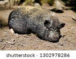 portrait of sliping black pig... | Shutterstock . vector #1302978286