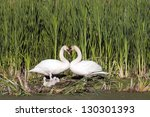 heart shape swan necks with... | Shutterstock . vector #130301393