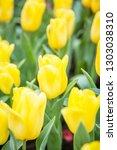 Colorful Tulip Flowers Bloom In ...