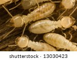 Several carpenter subterranean termites on wood - stock photo