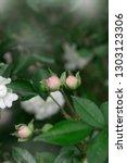 Rose Flower Closeup. Spring...