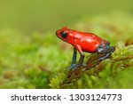 Red Strawberry poison dart frog, Dendrobates pumilio, in the nature habitat, Costa Rica. Close-up portrait of poison red frog. Rare amphibian in the tropic. Wildlife jungle. Frog in the forest.