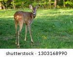 roe deer  capreolus capreolus.... | Shutterstock . vector #1303168990