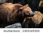 portrait of brown bear  ursus... | Shutterstock . vector #1303169203