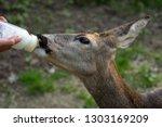 deer drinks milk from the... | Shutterstock . vector #1303169209
