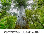 Kauri Trees At The North Island ...